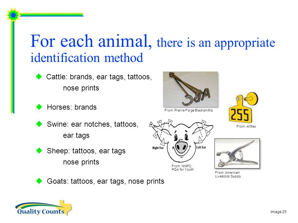  Cattle: brands, ear tags, tattoos, nose prints  Horses: brands  Swine: ear notches, tattoos, ear tags  Sheep: tattoos, ear tags nose prints  Goats: tattoos, ear tags, nose prints For each animal, there is an appropriate identification method From: Allflex From: Prairie Forge Blacksmiths From: American Livestock Supply From: NNPC; PQA for Youth Image 25