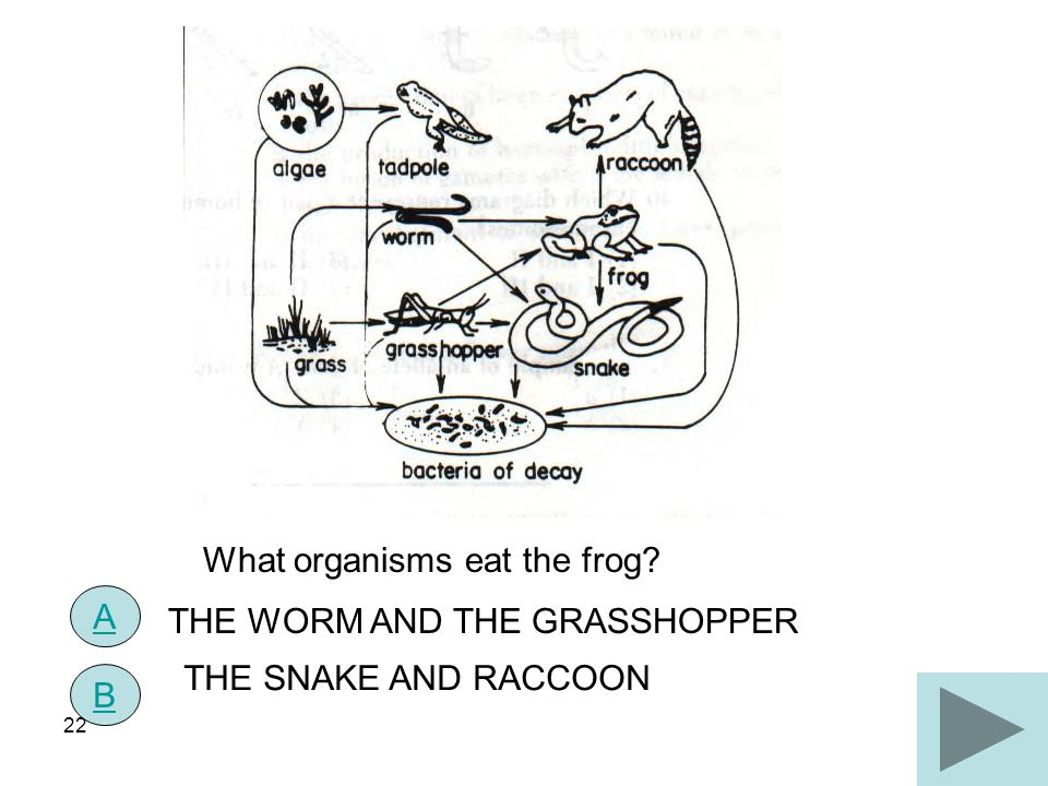 22 What organisms eat the frog? A B THE WORM AND THE GRASSHOPPER THE SNAKE AND RACCOON