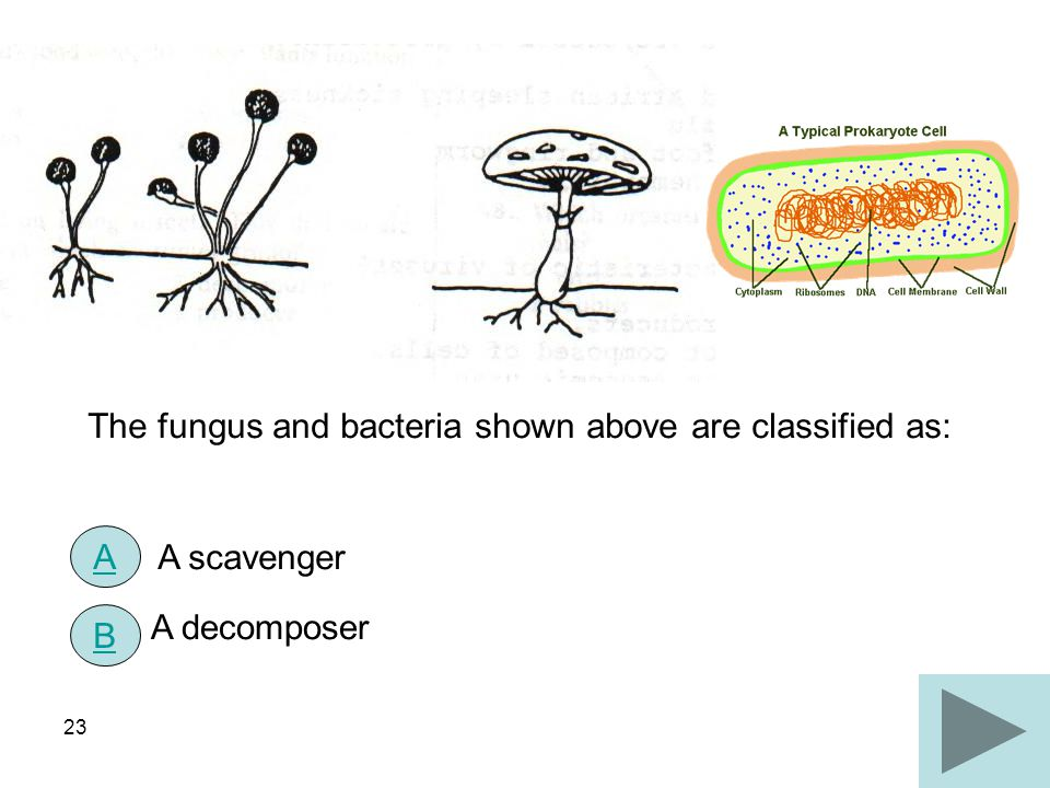 23 The fungus and bacteria shown above are classified as: A scavenger A decomposer A B