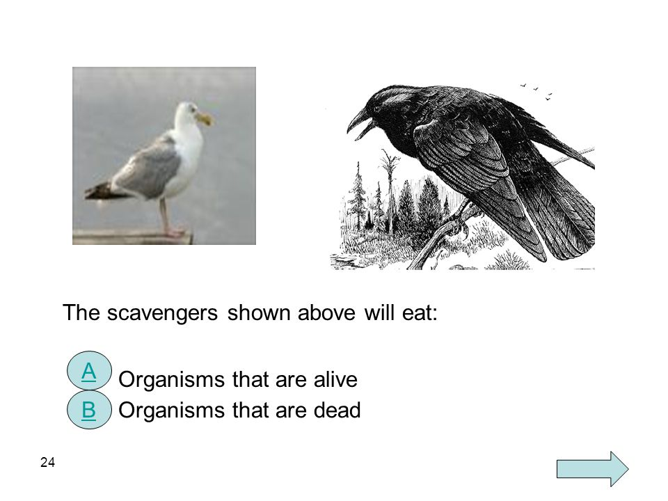 24 The scavengers shown above will eat: Organisms that are alive Organisms that are dead A B