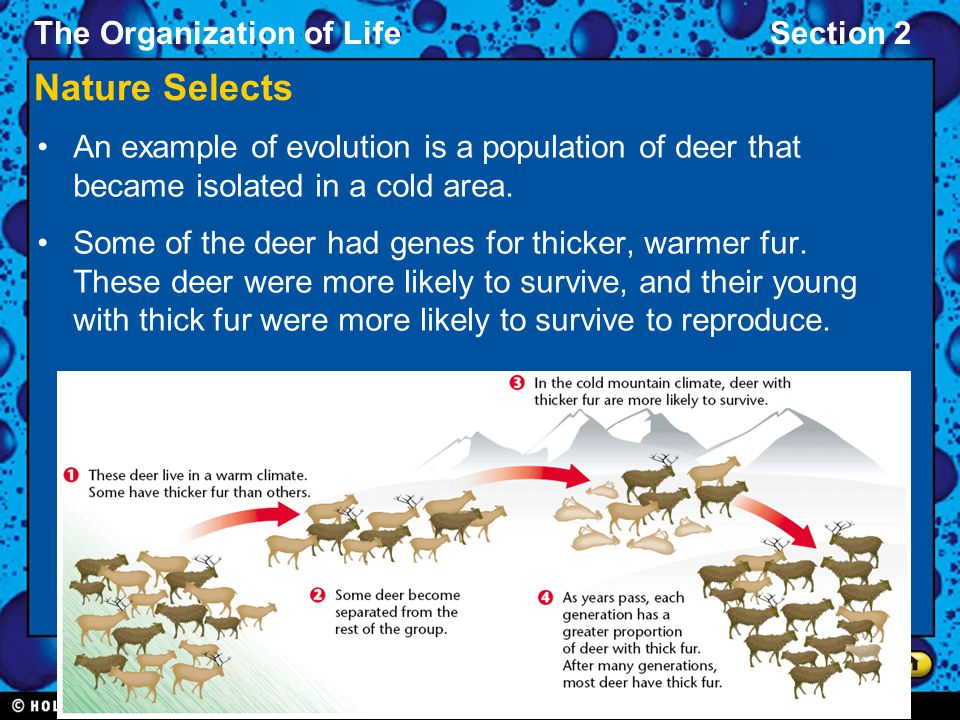 The Organization of LifeSection 2 Nature Selects An example of evolution is a population of deer that became isolated in a cold area. Some of the deer
