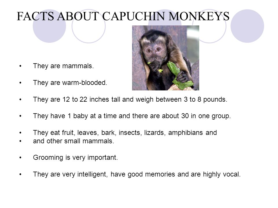 FACTS ABOUT CAPUCHIN MONKEYS They are mammals. They are warm-blooded. They are 12 to 22 inches tall and weigh between 3 to 8 pounds. They have 1 baby