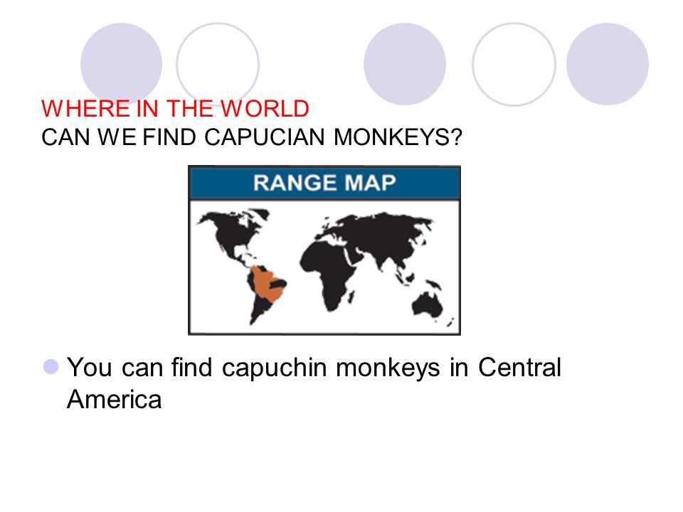 WHAT IS AMAZING OR INTERESTING ABOUT CAPUCIAN MONKEYS .