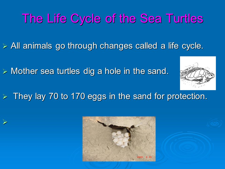Where Do Sea Turtles Live?  Sea Turtles live in the Earth's oceans.  They live way down in the ocean because that's where the food is.