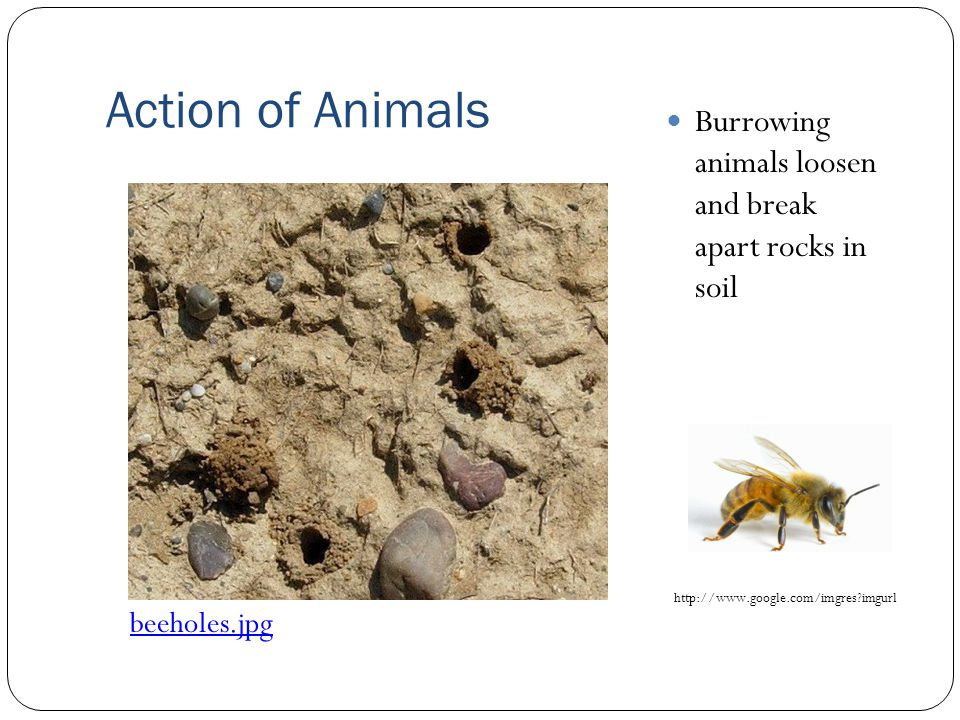 Action of Animals Burrowing animals loosen and break apart rocks in soil beeholes.jpg http://www.google.com/imgres?imgurl