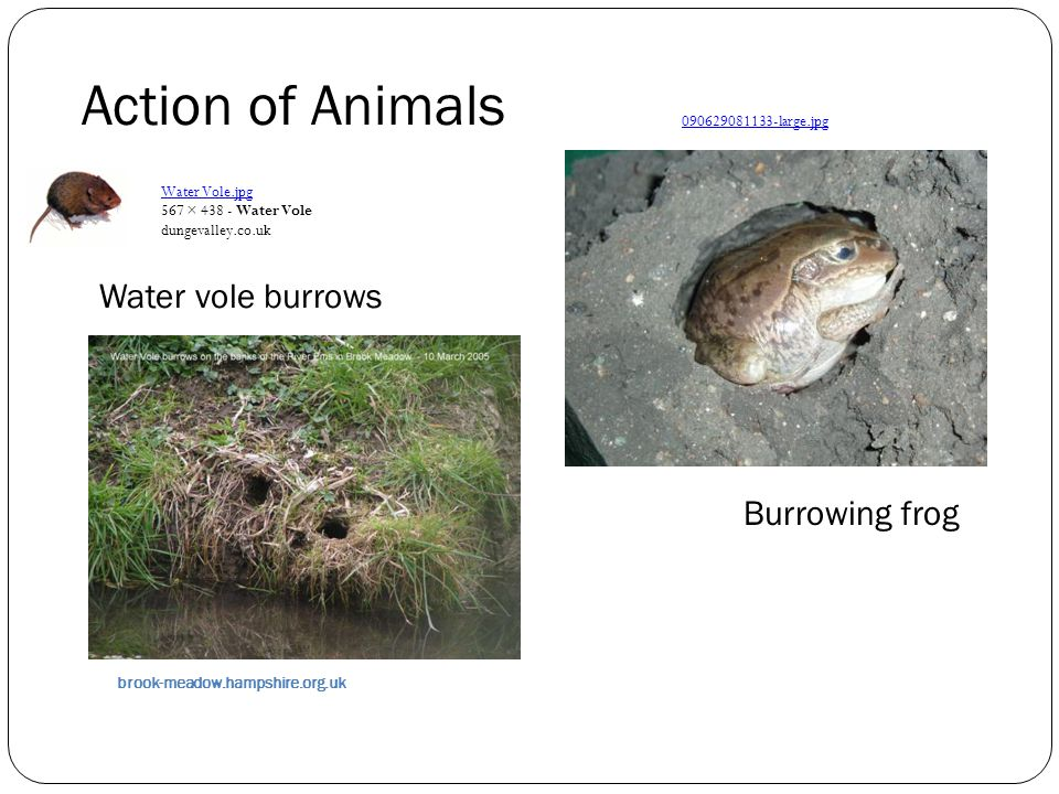 Water vole burrows brook-meadow.hampshire.org.uk Burrowing frog 090629081133 ‑ large.jpg Action of Animals Water Vole.jpg 567 × 438 - Water Vole dunge