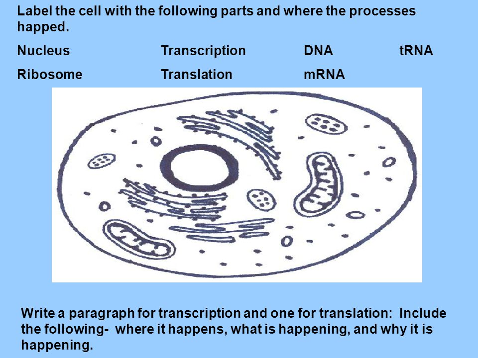 Label the cell with the following parts and where the processes happed.