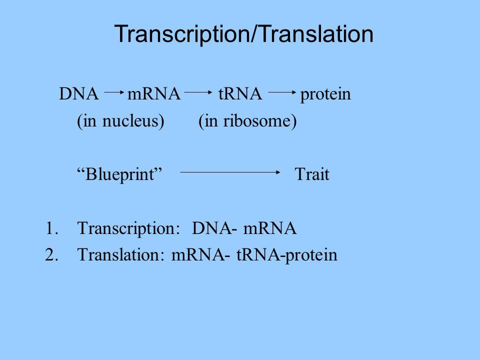 DNA mRNA tRNA protein (in nucleus) (in ribosome) Blueprint Trait 1.Transcription: DNA- mRNA 2.Translation: mRNA- tRNA-protein Transcription/Translation