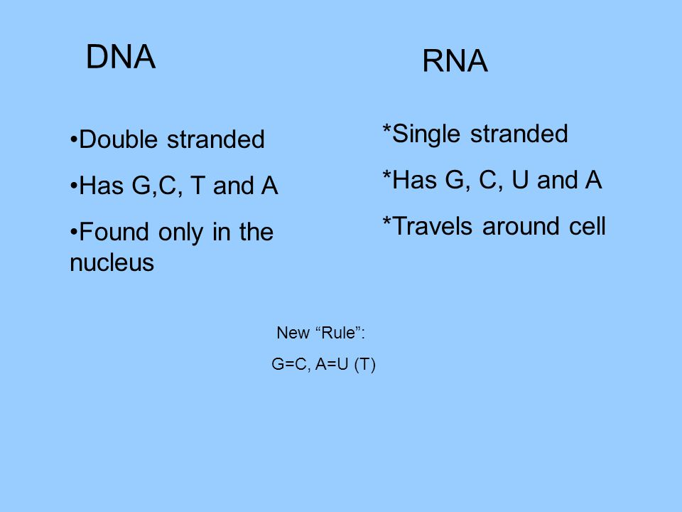 DNA RNA Double stranded Has G,C, T and A Found only in the nucleus *Single stranded *Has G, C, U and A *Travels around cell New Rule : G=C, A=U (T)