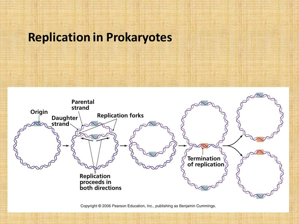 Replication in Prokaryotes