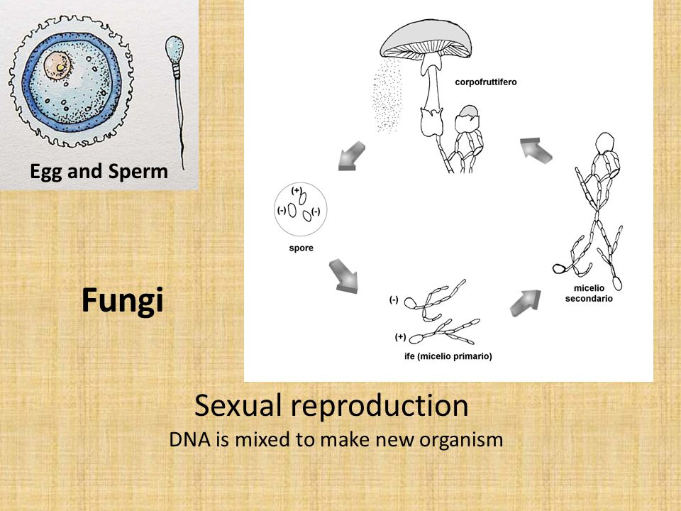Sexual reproduction DNA is mixed to make new organism Egg and Sperm Fungi