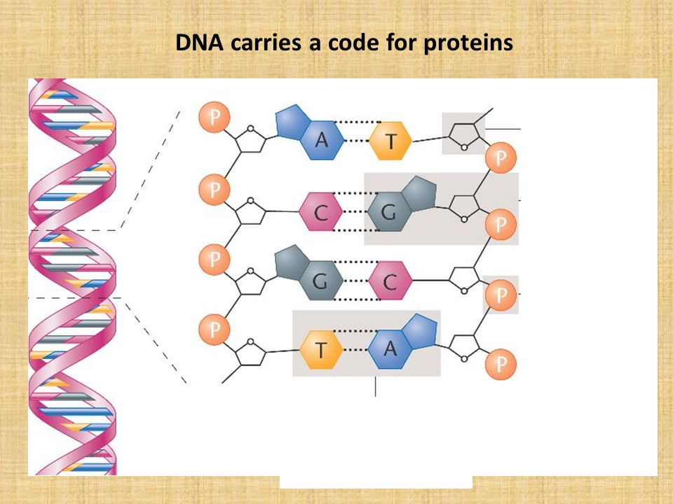 DNA carries a code for proteins