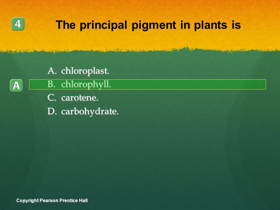 A.chloroplast. B.chlorophyll. C.carotene. D.carbohydrate. Copyright Pearson Prentice Hall The principal pigment in plants is