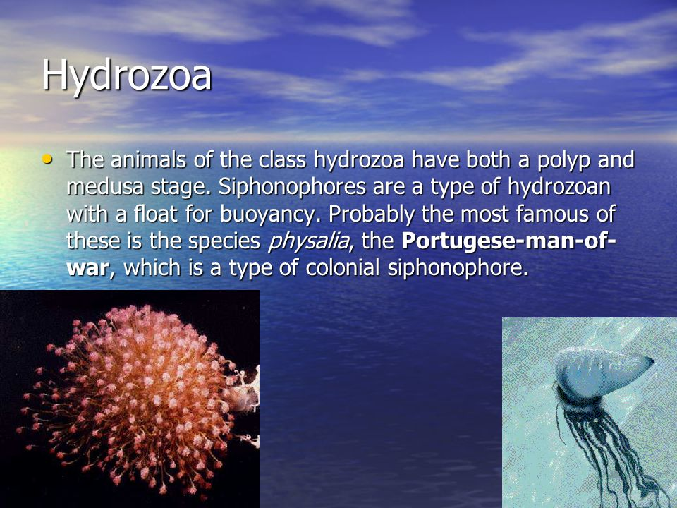 Hydrozoa The animals of the class hydrozoa have both a polyp and medusa stage.