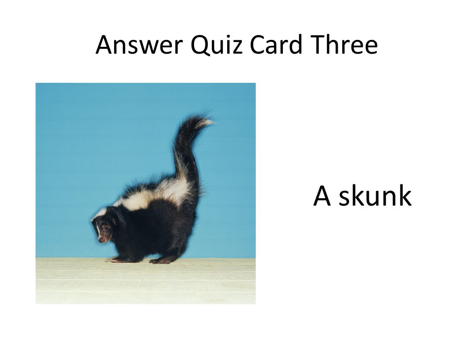 Answer Quiz Card Three A skunk
