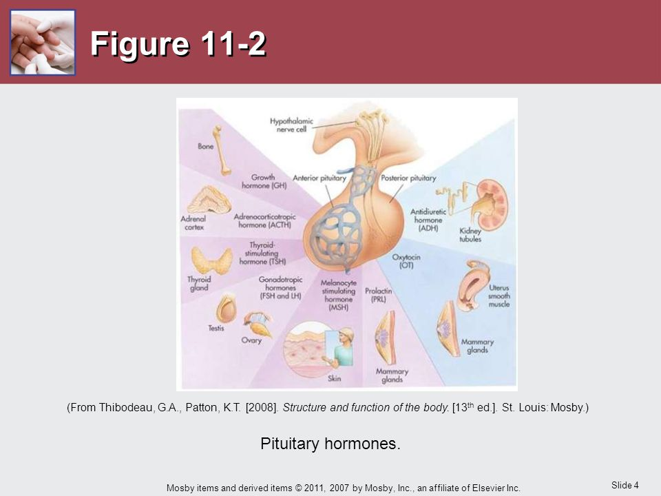 Slide 4 Mosby items and derived items © 2011, 2007 by Mosby, Inc., an affiliate of Elsevier Inc. Figure 11-2 Pituitary hormones. (From Thibodeau, G.A.