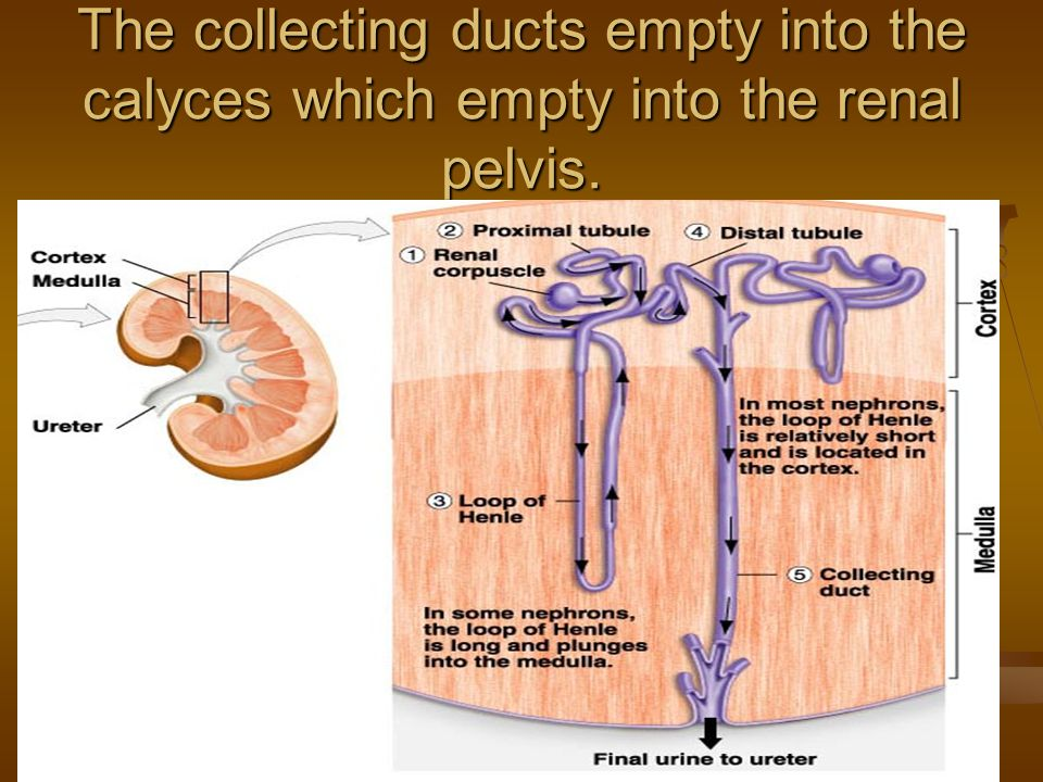 The collecting ducts empty into the calyces which empty into the renal pelvis.