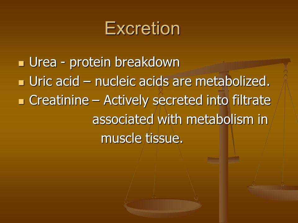 Excretion Urea - protein breakdown Urea - protein breakdown Uric acid – nucleic acids are metabolized.