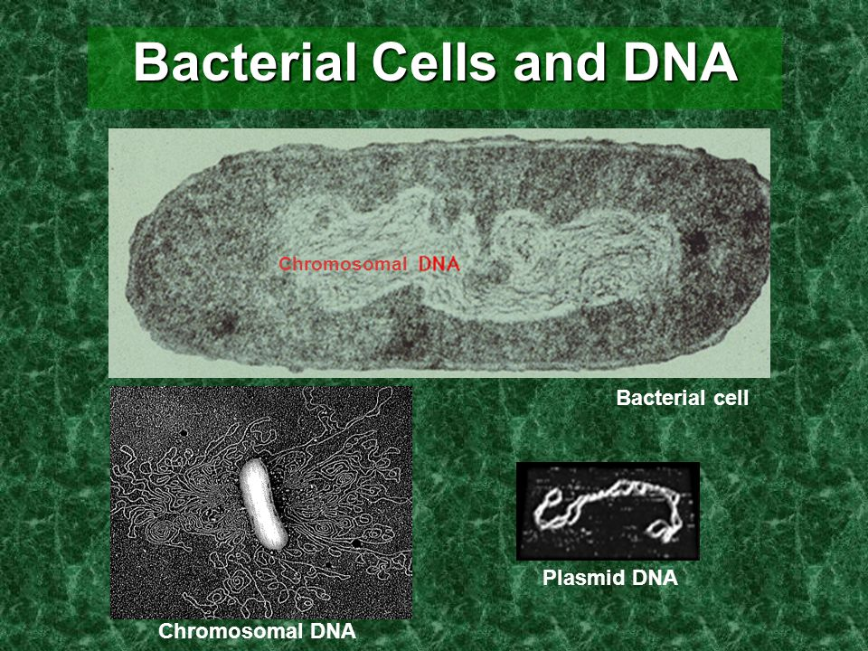 Bacterial Cells and DNA Chromosomal DNA Chromosomal Bacterial cell Plasmid DNA