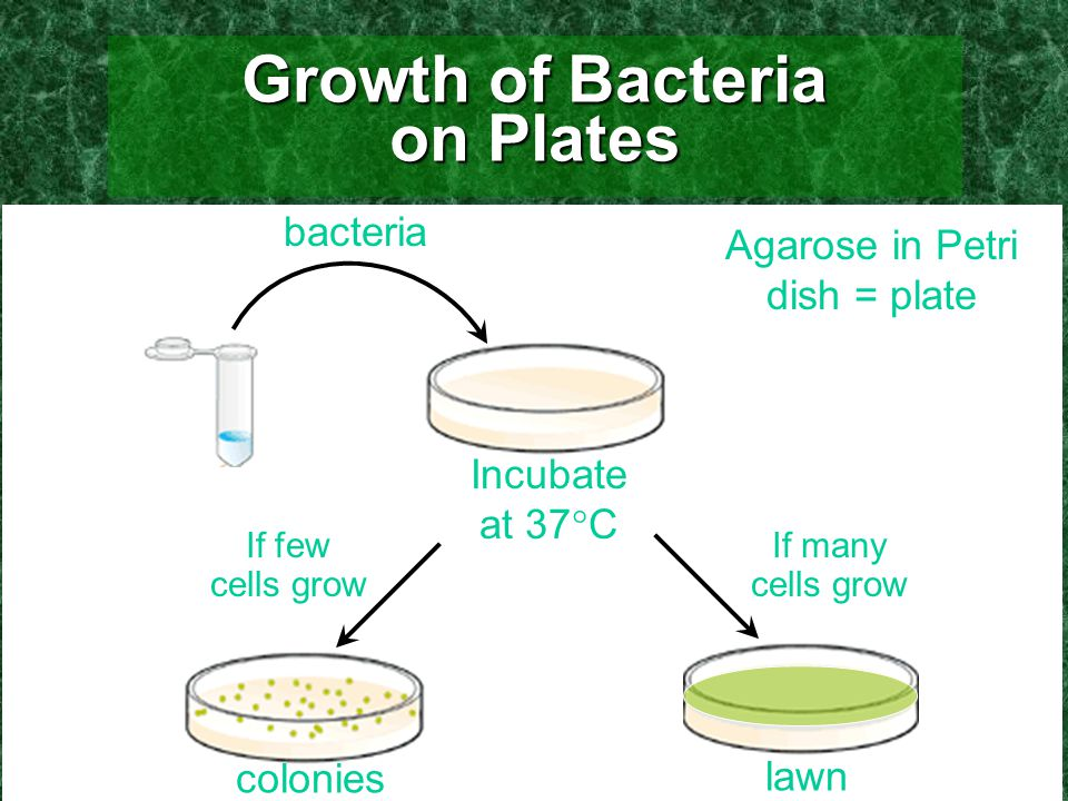 Growth of Bacteria on Plates Agarose in Petri dish = plate bacteria Incubate at 37  C If few cells grow If many cells grow colonies lawn