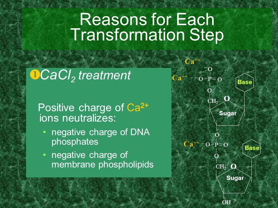 Reasons for Each Transformation Step  CaCl 2 treatment Positive charge of Ca 2+ ions neutralizes: negative charge of DNA phosphates negative charge o