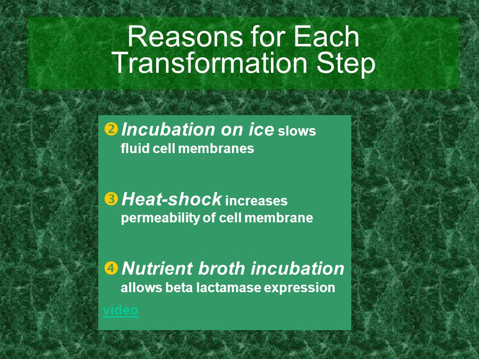  Incubation on ice slows fluid cell membranes  Heat-shock increases permeability of cell membrane  Nutrient broth incubation allows beta lactamase