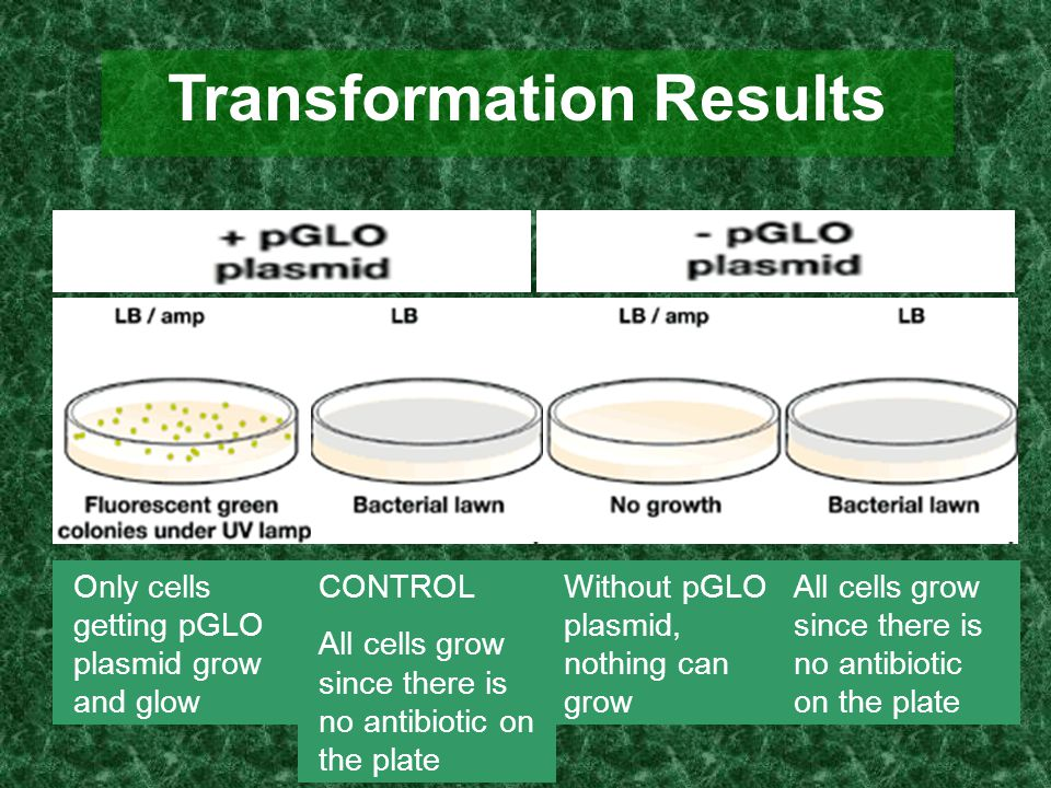 Transformation Results Only cells getting pGLO plasmid grow and glow CONTROL All cells grow since there is no antibiotic on the plate Without pGLO pla