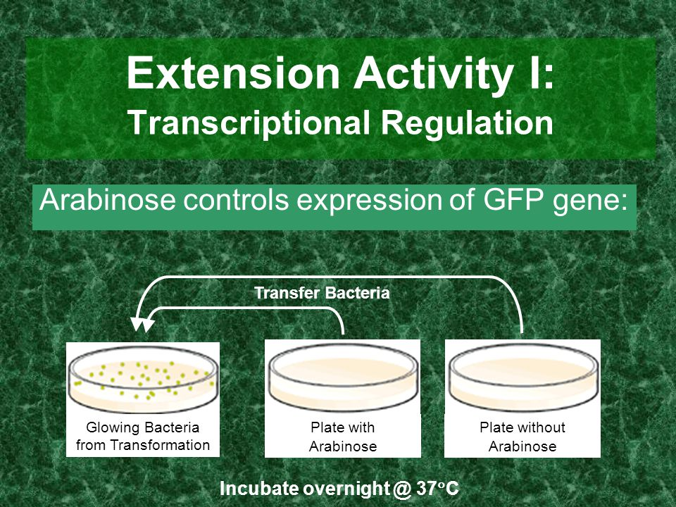 Extension Activity I: Transcriptional Regulation Arabinose controls expression of GFP gene: Glowing Bacteria from Transformation Plate with Arabinose