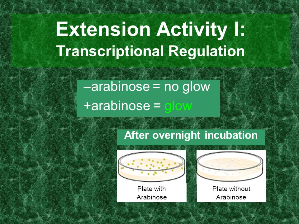 Extension Activity I: Transcriptional Regulation  arabinose = no glow +arabinose = glow Plate with Arabinose Plate without Arabinose After overnight