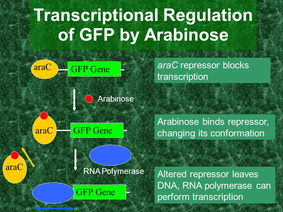 Transcriptional Regulation of GFP by Arabinose araC GFP Gene araC GFP Gene RNA Polymerase Arabinose araC GFP Gene araC repressor blocks transcription