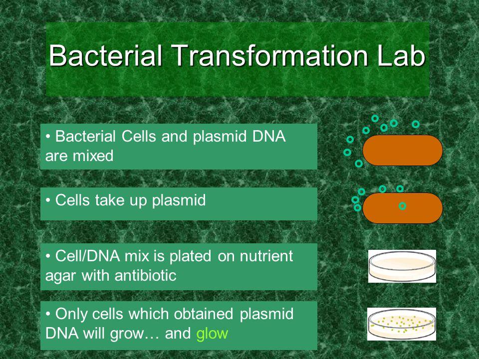 Extension Activity I: Transcriptional Regulation  arabinose = no glow +arabinose = glow Plate with Arabinose Plate without Arabinose After overnight incubation