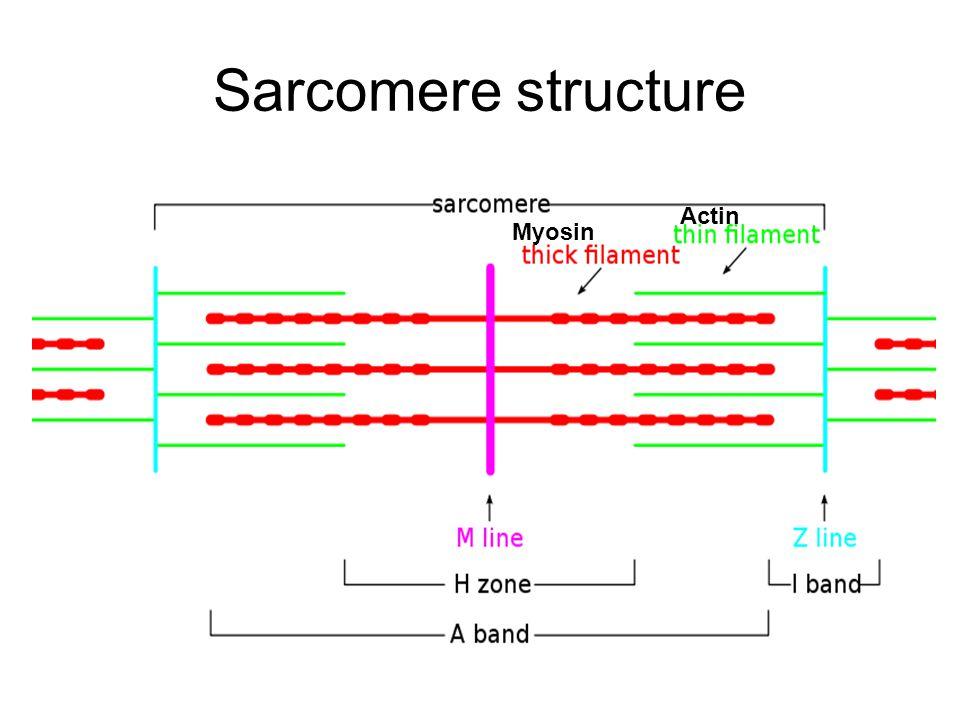 Sarcomere structure Myosin Actin