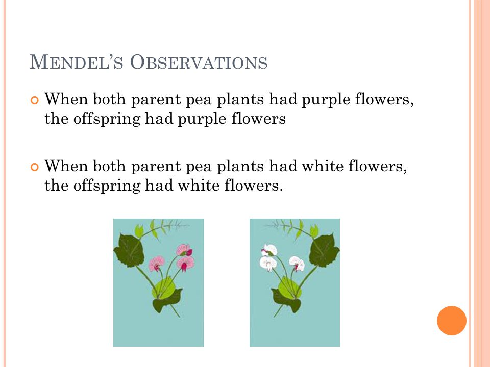 M ENDEL ' S O BSERVATIONS When both parent pea plants had purple flowers, the offspring had purple flowers When both parent pea plants had white flowers, the offspring had white flowers.