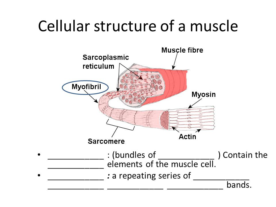 Cellular structure of a muscle ____________ : (bundles of ____________ ) Contain the ____________ elements of the muscle cell.