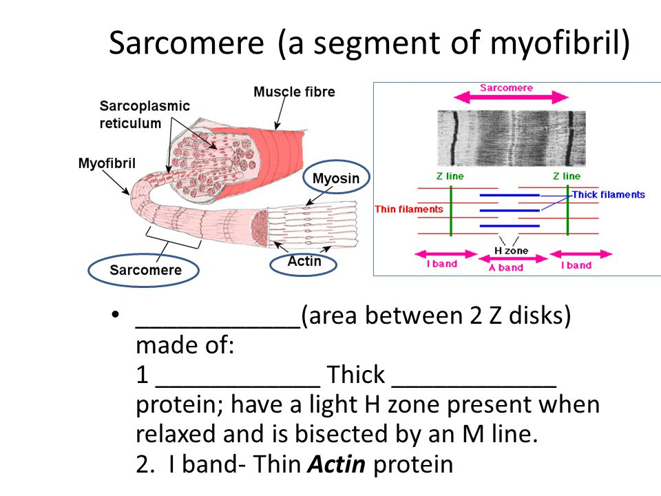 Sarcomere (a segment of myofibril) ____________(area between 2 Z disks) made of: 1 ____________ Thick ____________ protein; have a light H zone presen