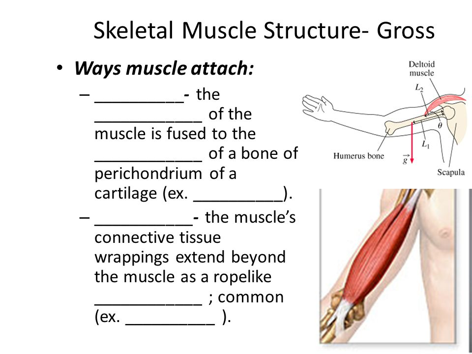 Skeletal Muscle Structure- Gross Ways muscle attach: – __________- the ____________ of the muscle is fused to the ____________ of a bone of perichondrium of a cartilage (ex.
