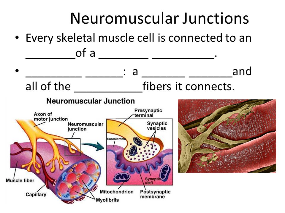 Neuromuscular Junctions Every skeletal muscle cell is connected to an ________of a ________ __________.