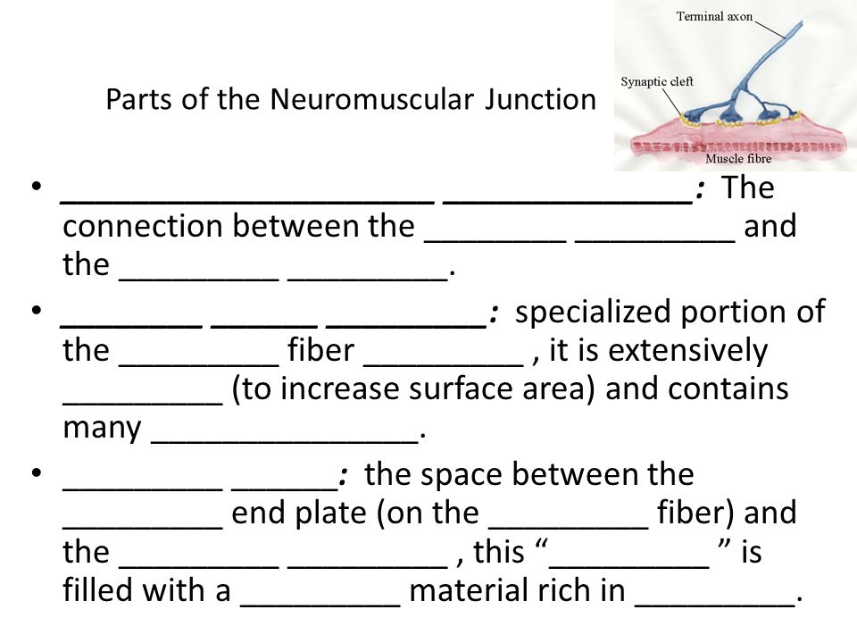 Parts of the Neuromuscular Junction _____________________ ______________: The connection between the ________ _________ and the _________ _________. _