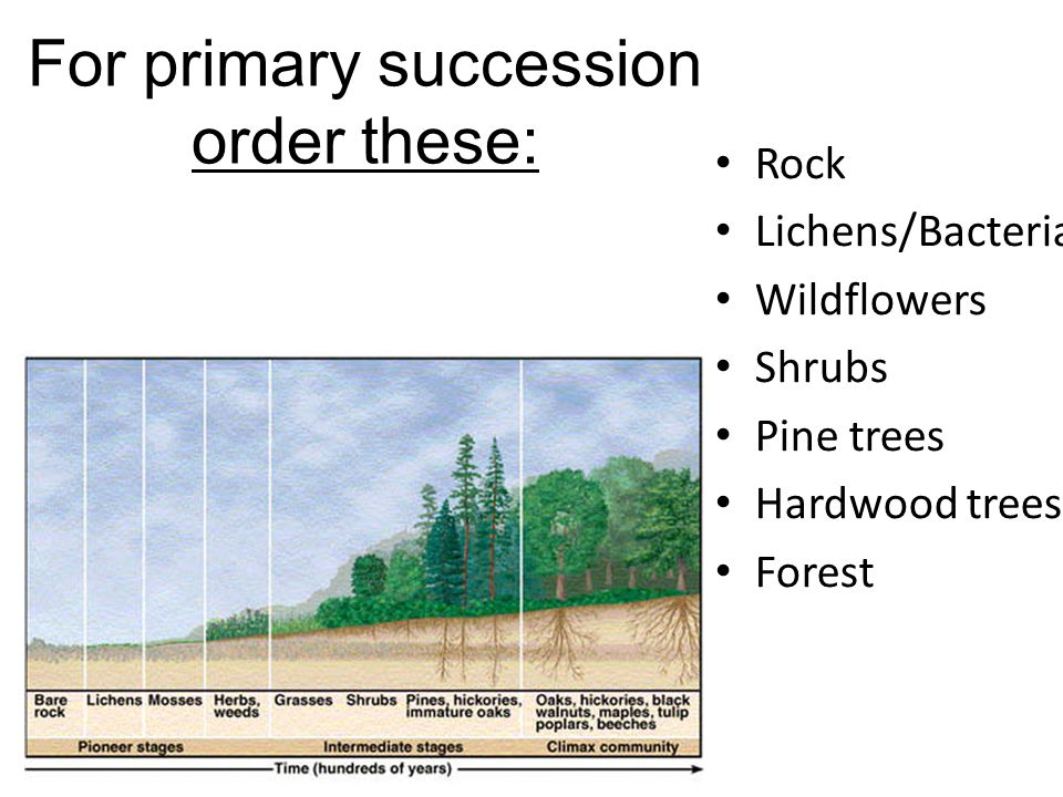 For primary succession order these: Rock Lichens/Bacteria Wildflowers Shrubs Pine trees Hardwood trees Forest