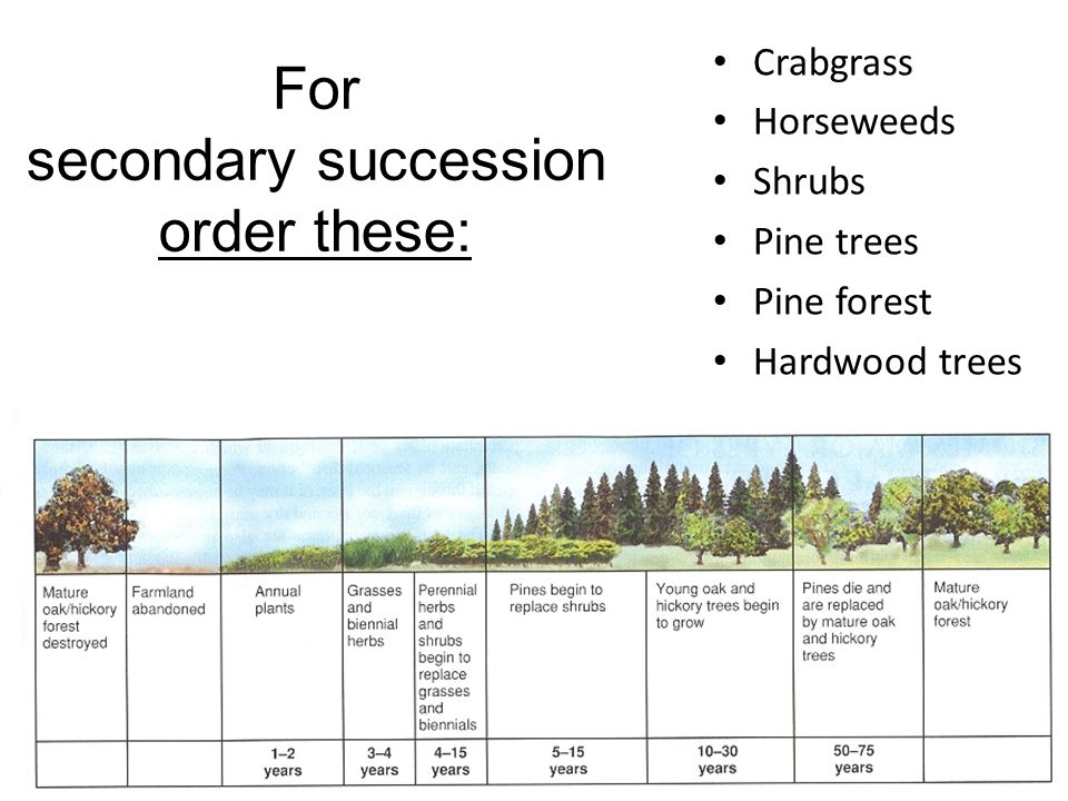 For secondary succession order these: Crabgrass Horseweeds Shrubs Pine trees Pine forest Hardwood trees
