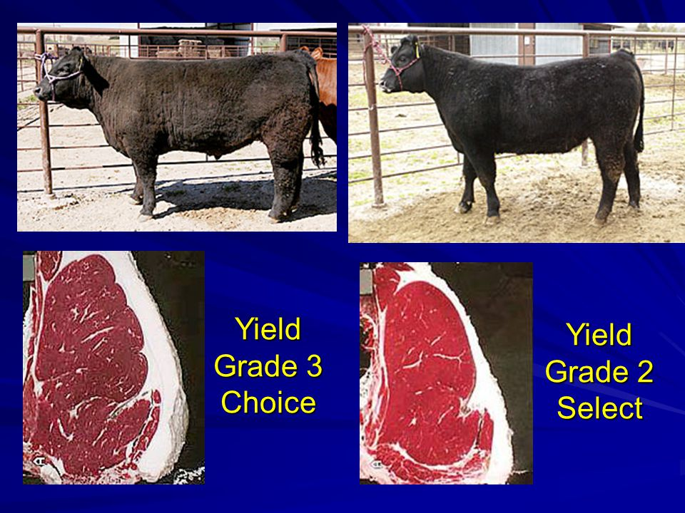 Yield Grade 3 Choice Yield Grade 2 Select