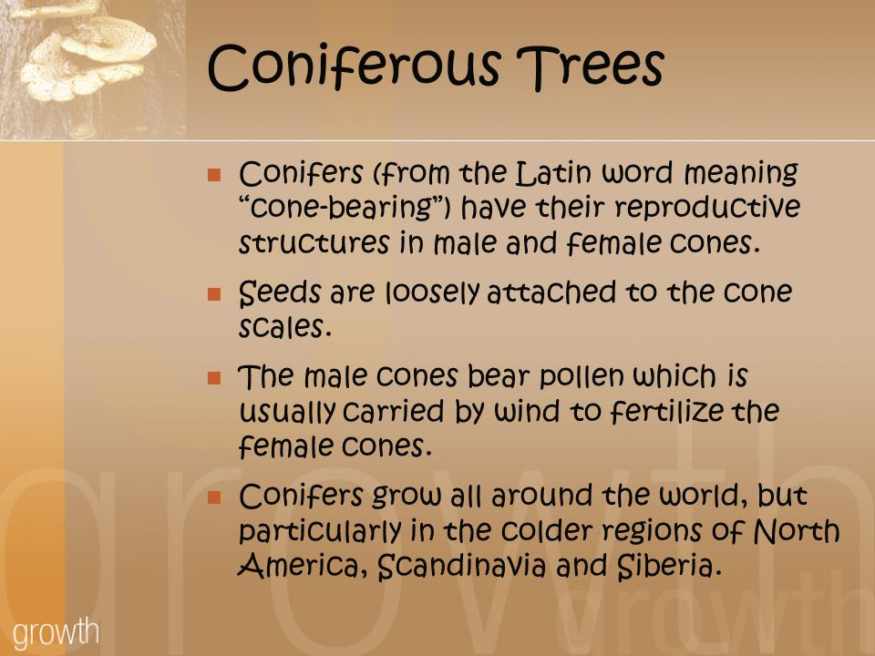Coniferous Trees Conifers (from the Latin word meaning cone-bearing ) have their reproductive structures in male and female cones.