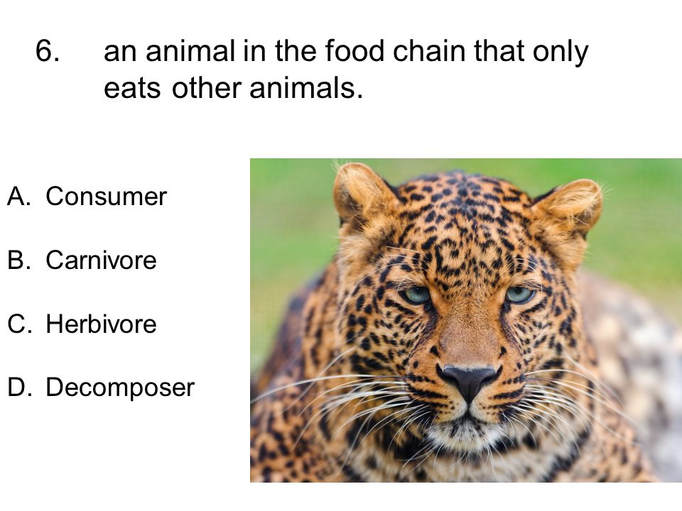 6. an animal in the food chain that only eats other animals. A.Consumer B.Carnivore C.Herbivore D.Decomposer