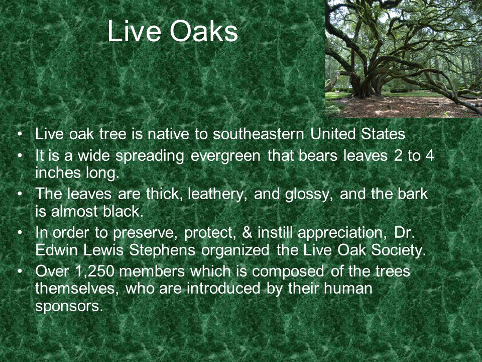 Live Oaks Live oak tree is native to southeastern United States It is a wide spreading evergreen that bears leaves 2 to 4 inches long. The leaves are