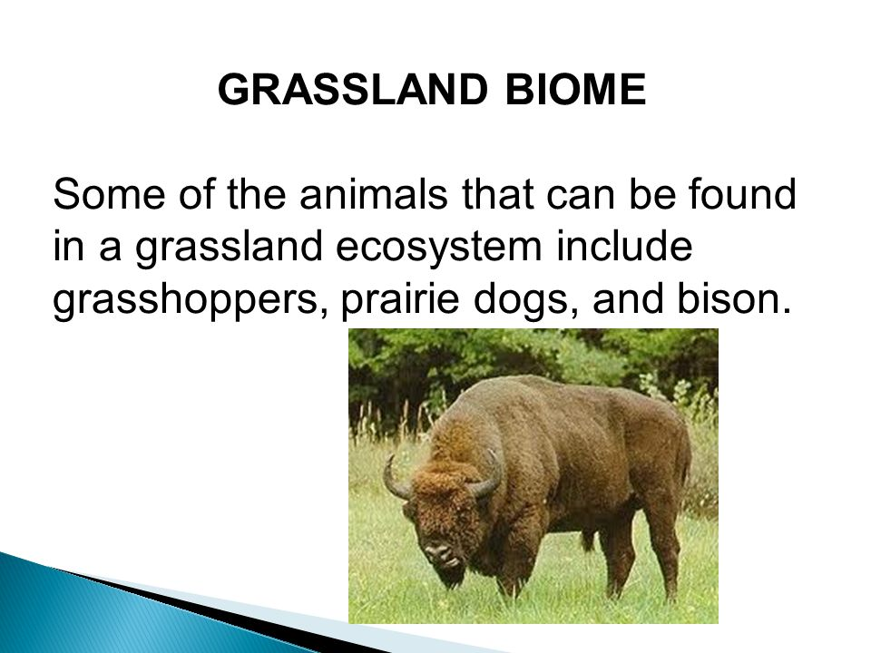 GRASSLAND BIOME Some of the animals that can be found in a grassland ecosystem include grasshoppers, prairie dogs, and bison.