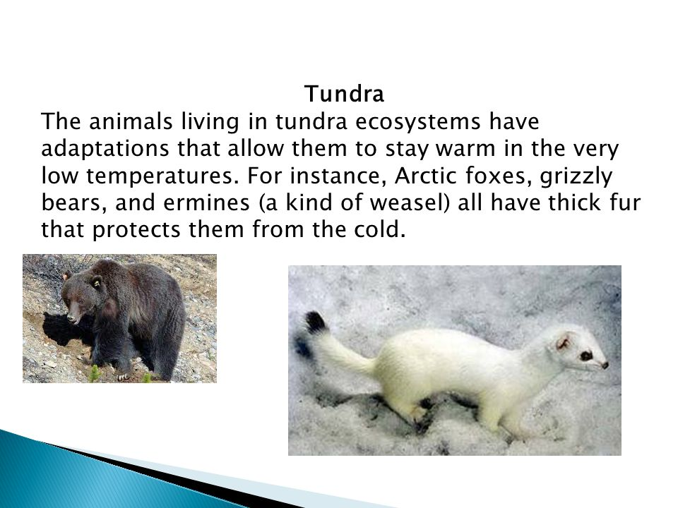 Tundra The animals living in tundra ecosystems have adaptations that allow them to stay warm in the very low temperatures. For instance, Arctic foxes,