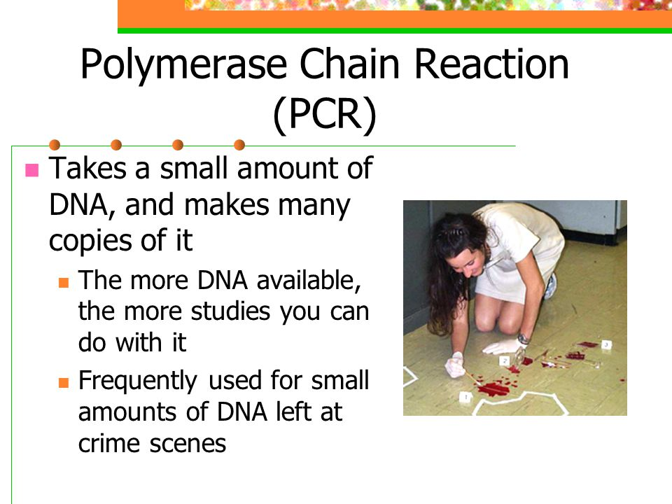 Polymerase Chain Reaction (PCR) The DNA fragment to be copied is heated to make the strands separate.