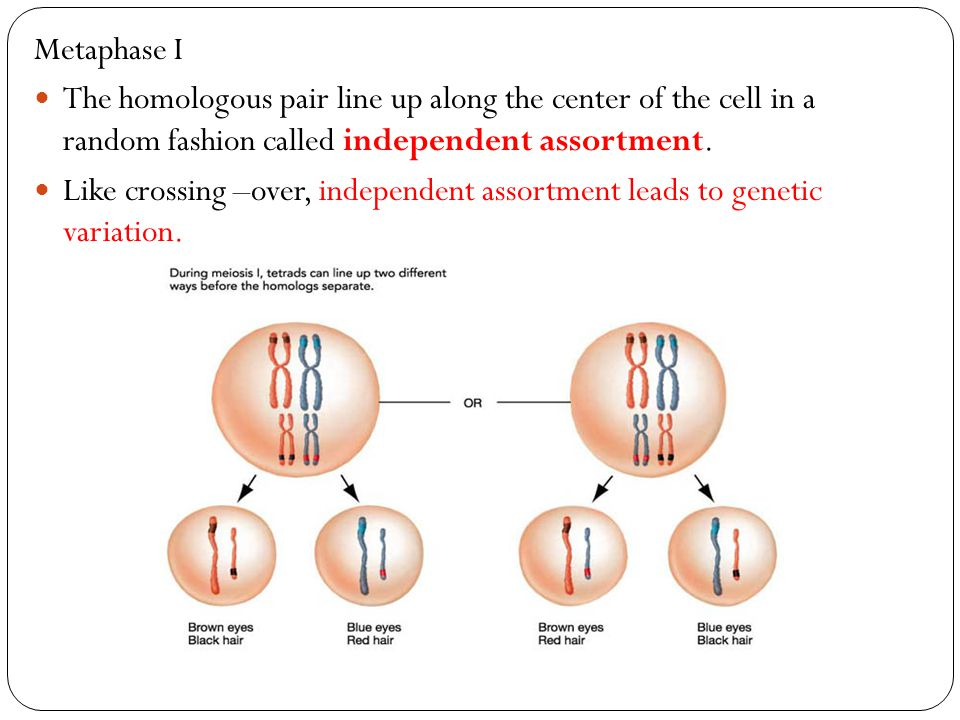 Metaphase I The homologous pair line up along the center of the cell in a random fashion called independent assortment. Like crossing –over, independe