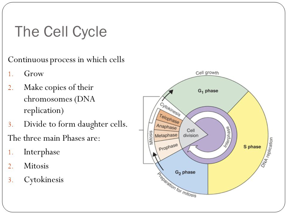 The Cell Cycle Continuous process in which cells 1. Grow 2. Make copies of their chromosomes (DNA replication) 3. Divide to form daughter cells. The t