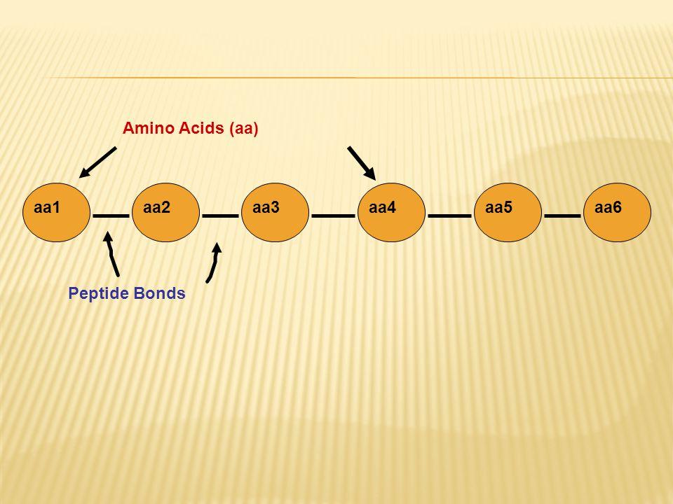 aa1aa2aa3aa4aa5aa6 Peptide Bonds Amino Acids (aa)
